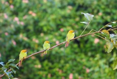 bee eaters