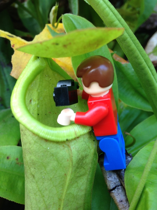 checking what's inside the pitcher plant