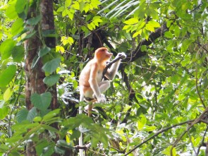 Miss Proboscis monkey