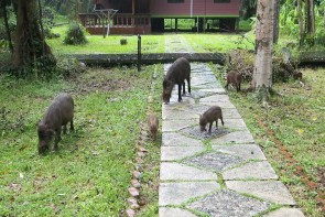 Bornean bearded pigs in our yard