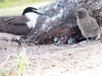 bridled tern with chick