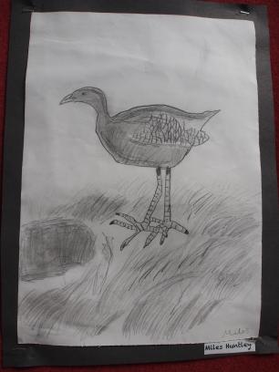 I drew a pukeko...