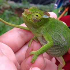 Ms Two-Horned Chameleon