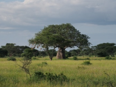 baobab and acacia with weaver nests