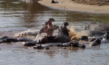 hippo battle