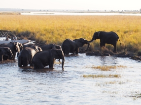 elephants at Chobe