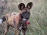 African wild dog with a warthog snout