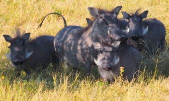 brave warthog family