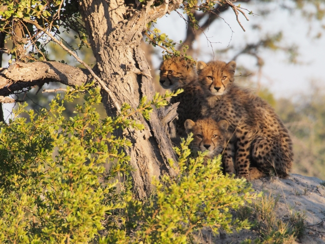 cheetah cubs on the termite mound
