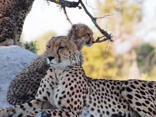 Mom cheetah with one of the cubs