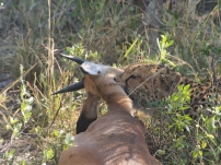 holding the throat of the springbok